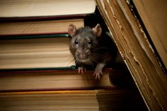 Rat Facts 2020 Signs of a rat's presence are droppings, gnawing marks, tracks,… Rat Droppings, Rat Facts, Roof Rats, Rat Infestation, Killing Rats, Getting Rid Of Rats, Rat Control, Rat Traps, Rodents