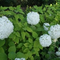 Hortensia (Hydrangea 'Strong Annabelle')