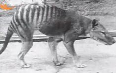 This thylacine, named Benjamin, died in captivity in 1936, years after the animals were wiped out in the wild by farmers protecting their livestock.