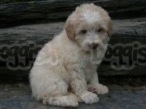 Stunning Bordoodle Puppies for sale in Crookwell, New South Wales | Doggish Australia