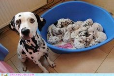 do all dalmations have 101 puppies?