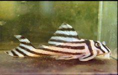 Zebra Plecostomus Saltwater Aquarium Fish, Freshwater Aquarium Fish, Planted Aquarium, Aquarium Pictures, Plecostomus, Cool Fish Tanks, Fish Care, Pet Fish, Beautiful Fish