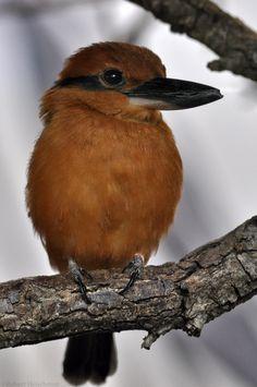 Micronesian Kingfisher / by robbobert on DeviantArt