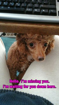 Hello, I'm missing you    (tags: apricot fawn cute miniature poodle dog Leo Leonardo computer keyboard desk)
