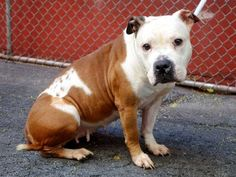 ~~SAD LITTLE 3 YR OLD GIRL TO BE DESTROYED 7/30/14~~ Manhattan Center My name is NICOLE. My Animal ID # is A1007858. I am a female white and brown pit bull mix. The shelter thinks I am about 3 YEARS old.  I came in the shelter as a STRAY on 07/24/2014 from NY 10473, owner surrender reason stated was STRAY.