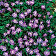 Mazus reptans is a splendid groundcover for large areas, its dense, prostrate growth withstanding heavy foot traffic.  Spreads rapidly in sun or shade and moist soil.