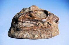 Gasparinisaurus Skull Plaques for sale at www.SkeletonsAndSkullsSuperstore.com. These fossil replicas are ideal for educators, veterinarians and students.