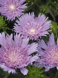 Stokesia laevis Peachies Pick Peachies Pick Stokes Aster from Prides Corner Farms Blue And Purple Flowers, Lilac, White Flower Farm, Border Plants, Stunning Summer, Decorative Borders, Gardening Supplies, Aster, Native Plants