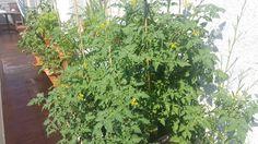Las tomateras florecen