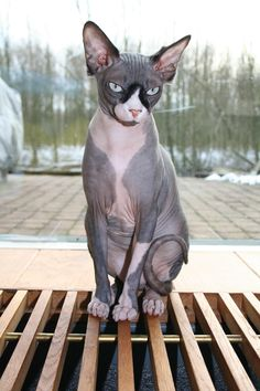 Sphynx Cat, Tobe says this is the only type of cat we can get (b/c he's allergic)