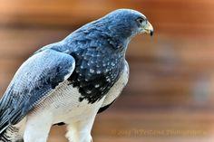 Aquila Blu Cilena by Welbis Pestana on Birds Of Prey, My Animal, Wildlife, Animals, Beautiful, Locarno, Animales, Animaux, Animal Memes