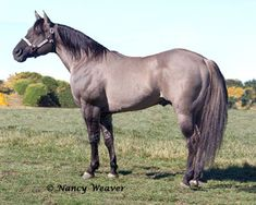 """""""Blue"""" is a Grullo Quarter Horse stallion who is from a pedigree packed with duns. He has an AQHA & IBHA Register of Merit in Reining and numerous Championships and Reserve Championships to his name."""