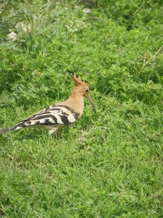 Beautiful Shot-Hoopoe
