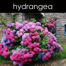 hydreangea - Google Search