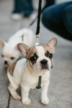 French Bulldog Puppy!