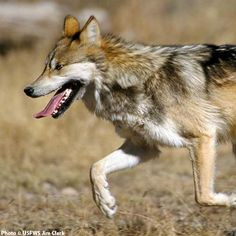 Help Protect Wolves