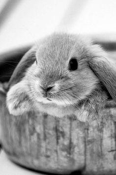 Fluffy Grey Bunny