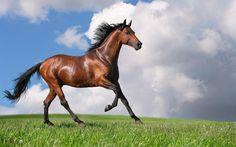 dörtnala koşan kahverengi at