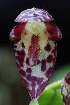 Miniature-orchid: Pleurothallis restrepioides -  Flickr - Photo Sharing!