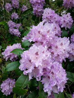 Rhododendron...'Blue Peter' after a rain shower.