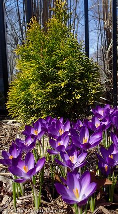 Crocus tommasinianus Ruby Giant in front of a  young Thuja occidentalis 'Filip's Magic Moment'.