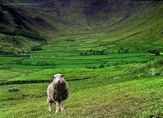 Sean The Sheep (Lake District, Cumbria), by Alf Bailey