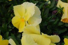 pansy matrix lemon
