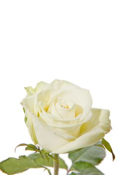 Cream Rose which is very frangrant!