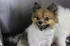 Meet Pompom, an adoptable Pomeranian looking for a forever home. If you're looking for a new pet to adopt or want information on how to get involved with adoptable pets, Petfinder.com is a great resource.