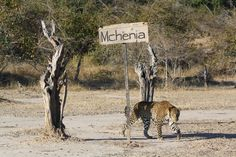 An unusual visitor drops by at Mchenja Camp. Safari, Time And Tide, Night Driving, Cold Shower, Small Pools, Holiday Travel, Luxury Travel, Adventure Travel, National Parks