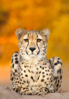 Cheetah - I love the colors!