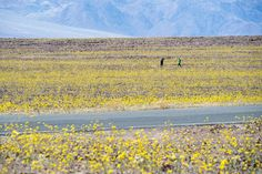 """Yellow wildflowers line the highway through Death Valley National Park, in Death Valley, California, on March 4, 2016. Unusally heavy rainfall in October trigged a """"super bloom,"""" carpeting Death Valley National Park, the hottest and driest place in North America, in gold, purple, white, and pink."""