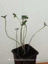 Why Cannabis Seedlings Stretch -