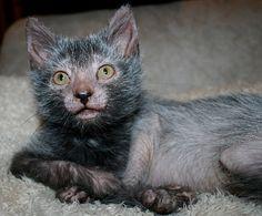 New Cat Breed Looks Like Little Werewolves [Video]