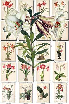 LILIES-2 flowers Collection of 294 vintage images vegetable Merendera Bulbocodium, Methonica Superba, Montbretia Securigera, Moraea Iridioides, Moraea Sordescens, Moraea Vaginata, Muscari Ambrosiaceum, Muscari Comosum, Muscari Racemosum, Narcissus Bulbocodium, Narcissus Calathinus, Narcissus Candidisimus, Narcissus Gouani, Narcissus Jonguilla, Narcissus Odorus, Narcissus Poeticus, Narcissus Pseudo-Narcissus, Neottia Elata, Nerine Aurea, Ornithogalum Arabic