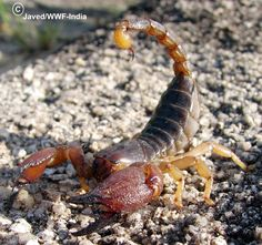 Scorpion--Heterometrus species--India