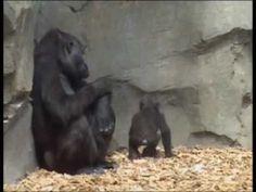 Ebo, el primer gorila nacido en Bioparc Valencia cumple 6 meses. | Ebo, the first gorilla born in Bioparc Valencia meets 6 months. | www.bioparcvalencia.es