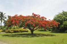 le Vauclin flamboyant rouge