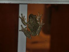 A Tree Frog sticking to my window.