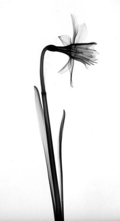 Daffodil Radiograph by Leslie Wright: It's still winter in Iowa. by loracia