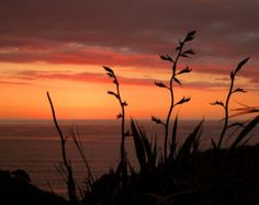 Sunset Over Ocean, New Zealand, showing typical flower heads on common flax plants Flax Plant, Ocean Photos, Native Plants, Far Away, Painting Inspiration, Dusk, New Zealand, Illusions, Photo Art