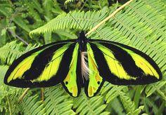 Butterflies of New Guinea - Ornithoptera tithonus