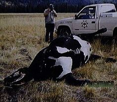 "Cattle Mutilation Phenomena, also called ""Bovine Excision"", is the enigma presented, when cattle have been found that are killed by an unexplained method and anatomically mutilated, under anomalous conditions. No single example of a paranormal event is so physically bizarre, or has such a negative economic impact on a specific industry. It is generally considered to have started with an anomalous mutilation in 1967 of a horse in Colorado. However, seven decades e"