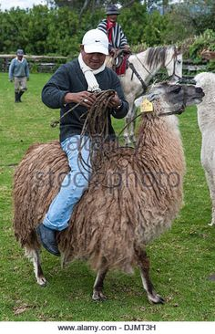 Image result for riding llamas Llamas, Activities, Animals, Image, Animaux, Animal, Animales, Animais