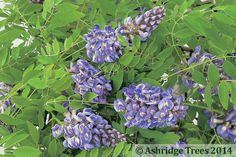 Wisteria sinensis Amethyst is a wonderful twining climbing plant producing red-tinged violet/blue flowers in May before the leaves appear. It has a strong sweet perfume. Its growth is very vigorous and so it needs a sturdy support and it is not self-clinging.