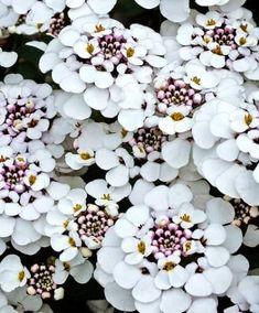 Schleifenblumen (Iberis) als weißer bodendecker für fantastische Gartengestaltung