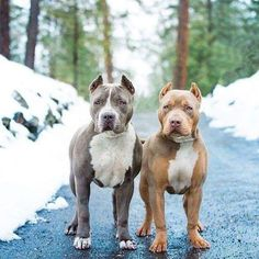 Amstaff Terrier, Pitbull Terrier, Bull Terriers, Cute Puppies, Cute Dogs, Dogs And Puppies, Baby Dogs, Doggies, Blueline Pitbull