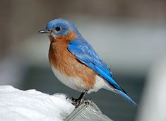 Eastern Bluebird--making regular appearances in the neighborhood!