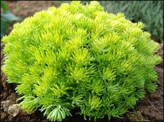 Sedum Lemon Ball - Cold Hardy (zones 3-11) with fabulous foliage color and texture that contrasts beautifully with other succulent varieties. Bright yellow blooms all summer are attractive to butterflies. http://EasytoGrowBulbs.com
