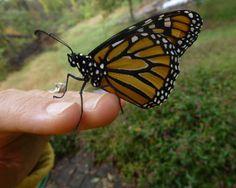 Monarch_20121003-24